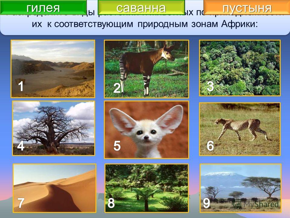 Закрепление изученного Распределите виды растений и животных по принадлежности их к соответствующим природным зонам Африки: гилеясаваннапустыня