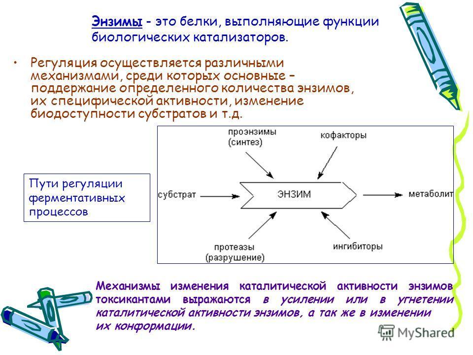 Энзимы - это белки, выполняющие функции биологических катализаторов. Регуляция осуществляется различными механизмами, среди которых основные – поддержание определенного количества энзимов, их специфической активности, изменение биодоступности субстра