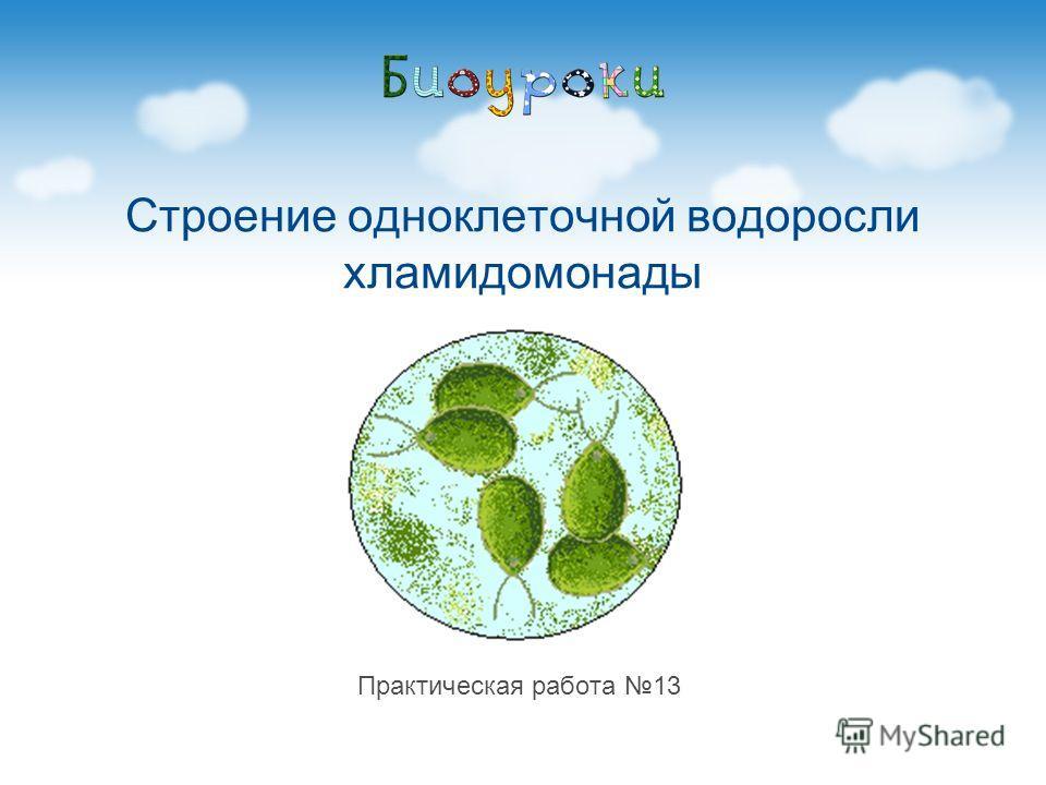 Строение одноклеточной водоросли хламидомонады Практическая работа 13