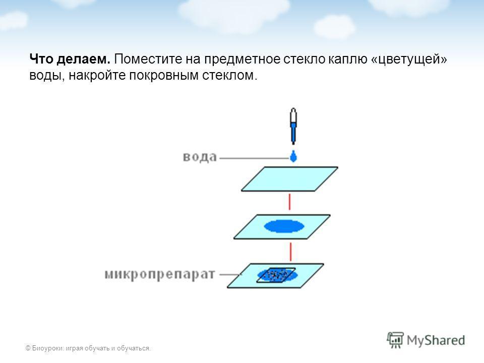 © Биоуроки: играя обучать и обучаться. Что делаем. Поместите на предметное стекло каплю «цветущей» воды, накройте покровным стеклом.