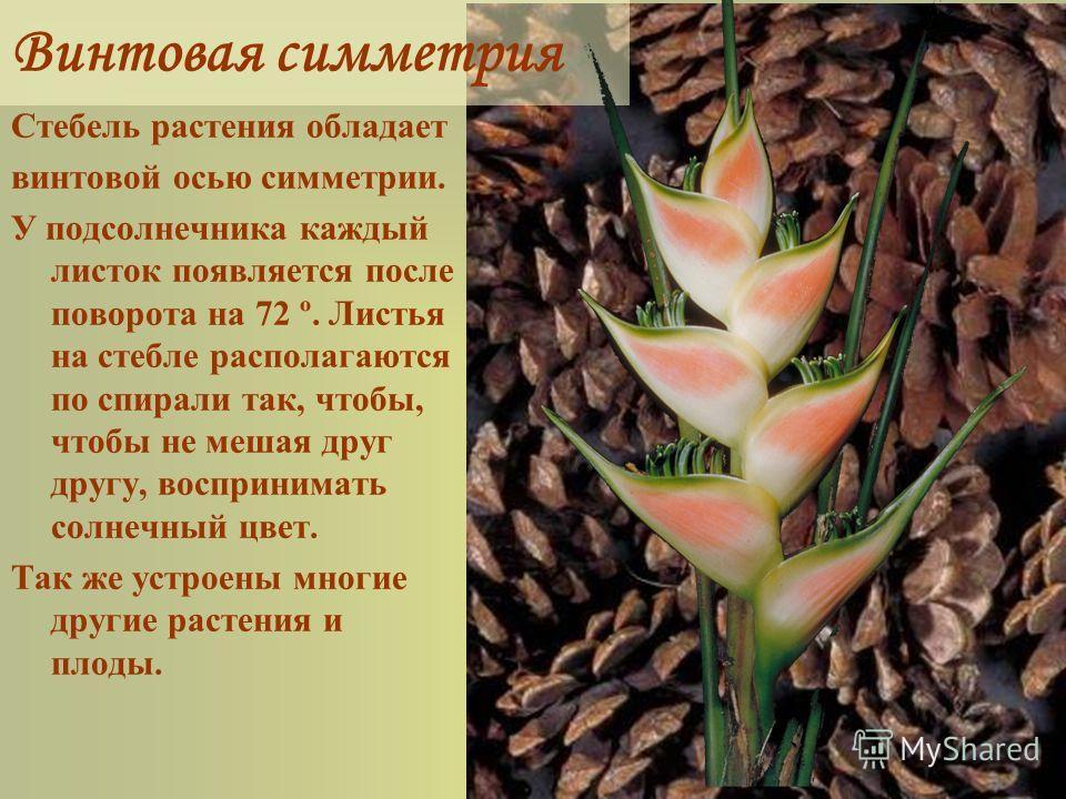 Винтовая симметрия Стебель растения обладает винтовой осью симметрии. У подсолнечника каждый листок появляется после поворота на 72 º. Листья на стебле располагаются по спирали так, чтобы, чтобы не мешая друг другу, воспринимать солнечный цвет. Так ж