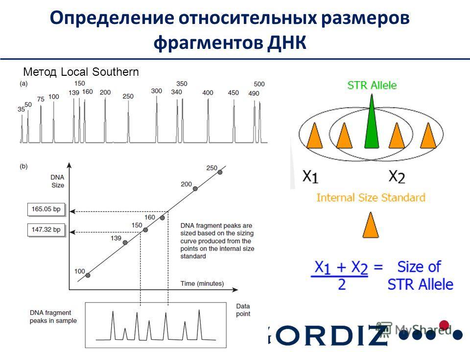 Определение относительных размеров фрагментов ДНК Метод Local Southern
