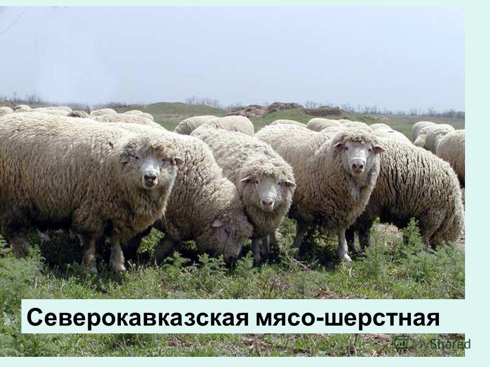 Северокавказская мясо-шерстная