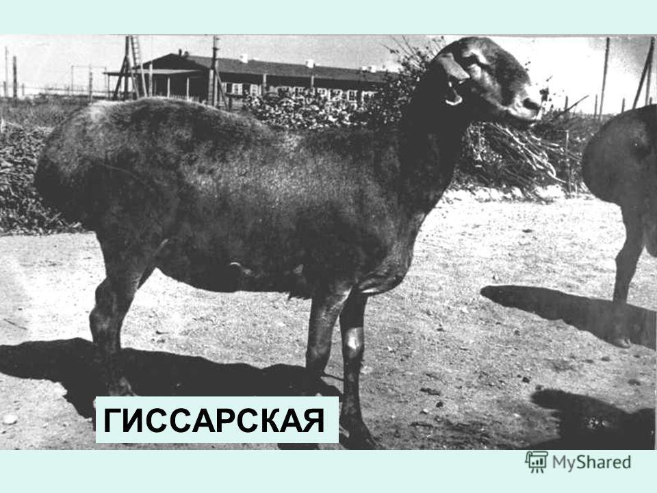ГИССАРСКАЯ