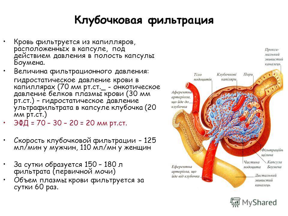 Клубочковая фильтрация Кровь фильтруется из капилляров, расположенных в капсуле, под действием давления в полость капсулы Боумена. Величина фильтрационного давления: гидростатическое давление крови в капиллярах (70 мм рт.ст._ - онкотическое давление