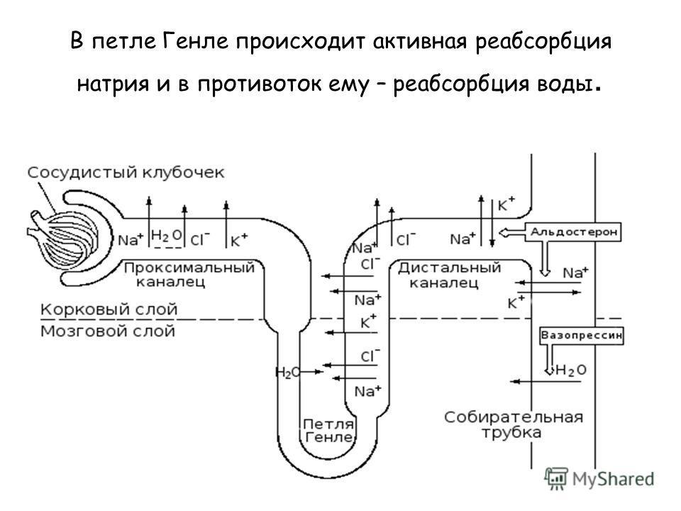 В петле Генле происходит активная реабсорбция натрия и в противоток ему – реабсорбция воды.