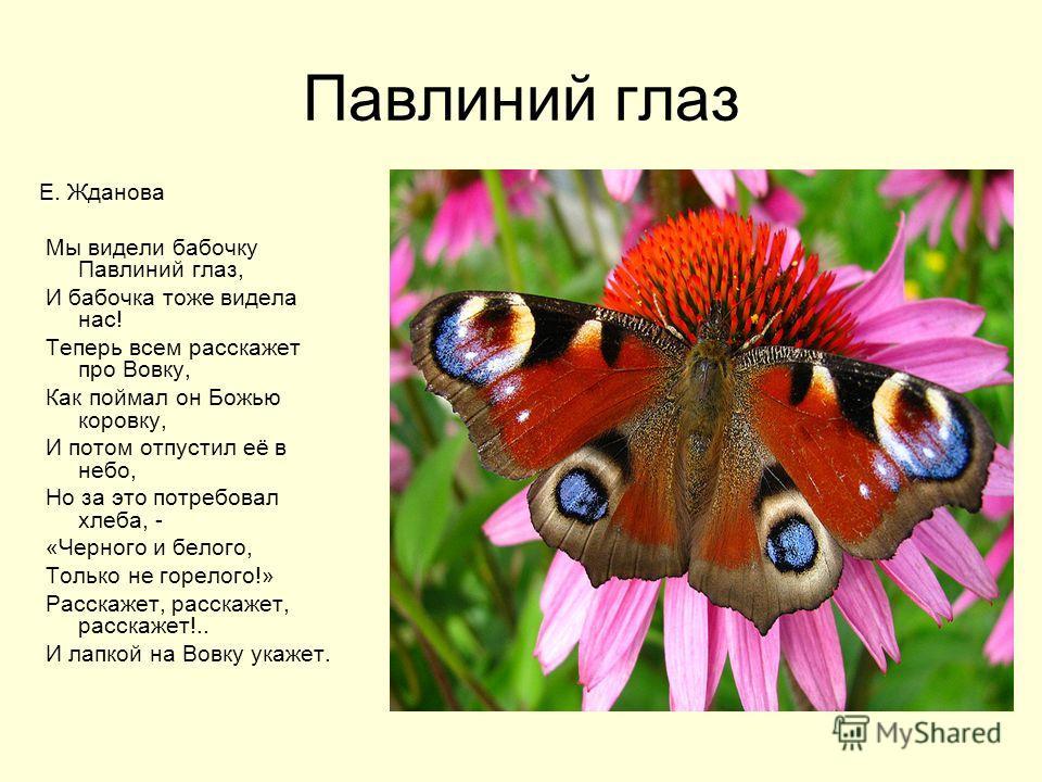 Павлиний глаз Е. Жданова Мы видели бабочку Павлиний глаз, И бабочка тоже видела нас! Теперь всем расскажет про Вовку, Как поймал он Божью коровку, И потом отпустил её в небо, Но за это потребовал хлеба, - «Черного и белого, Только не горелого!» Расск