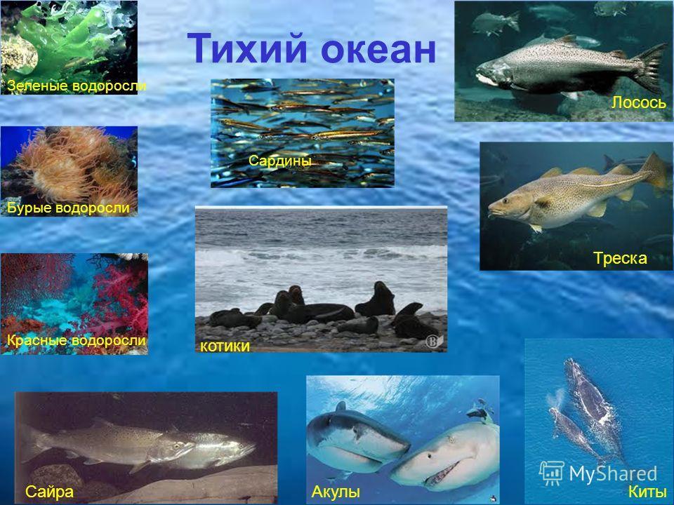 Тихий океан Бурые водоросли Зеленые водоросли Красные водоросли Сардины Сайра Лосось Треска Киты Акулы котики