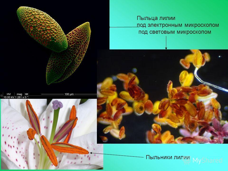 Пыльца лилии под электронным микроскопом под световым микроскопом Пыльники лилии