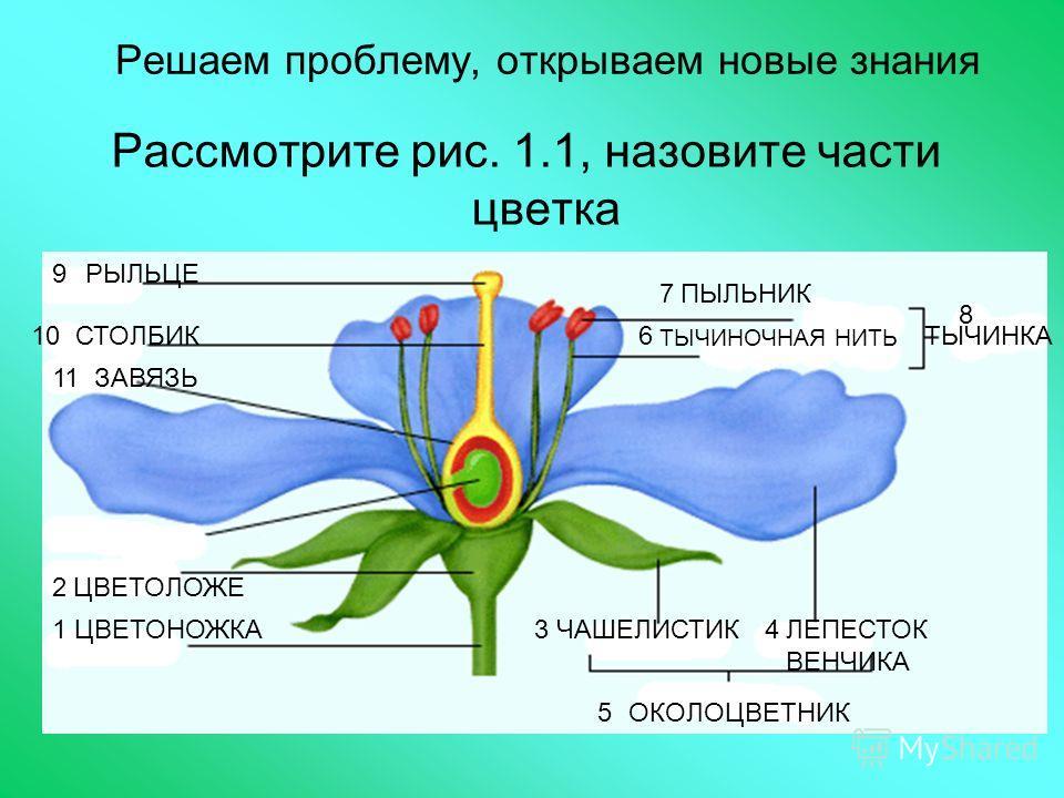 Решаем проблему, открываем новые знания Рассмотрите рис. 1.1, назовите части цветка 1 2 34 5 6 7 8 9 10 ЦВЕТОНОЖКА ЦВЕТОЛОЖЕ ЧАШЕЛИСТИКЛЕПЕСТОК ВЕНЧИКА ОКОЛОЦВЕТНИК ТЫЧИНОЧНАЯ НИТЬ ПЫЛЬНИК РЫЛЬЦЕ СТОЛБИК ЗАВЯЗЬ11 ТЫЧИНКА