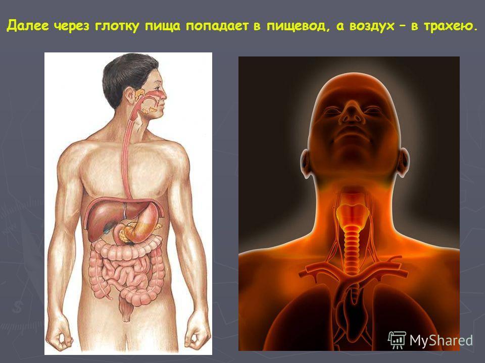 Далее через глотку пища попадает в пищевод, а воздух – в трахею.