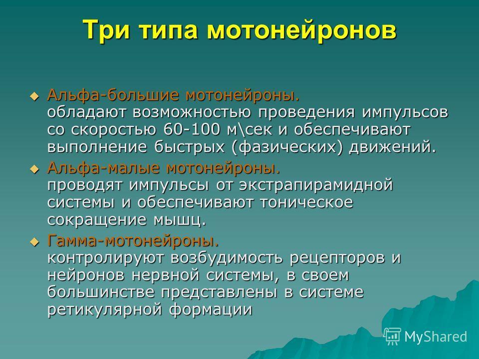 Три типа мотонейронов Альфа-большие мотонейроны. обладают возможностью проведения импульсов со скоростью 60-100 м\сек и обеспечивают выполнение быстрых (фазических) движений. Альфа-большие мотонейроны. обладают возможностью проведения импульсов со ск