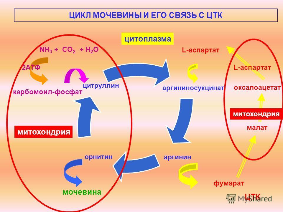 ЦИКЛ МОЧЕВИНЫ И ЕГО СВЯЗЬ С ЦТК мочевина карбомоил-фосфат NH 3 + CO 2 + Н 2 О 2АТФ L-аспартат оксалоацетат малат фумарат ЦТК митохондрия L-аспартат цитоплазма