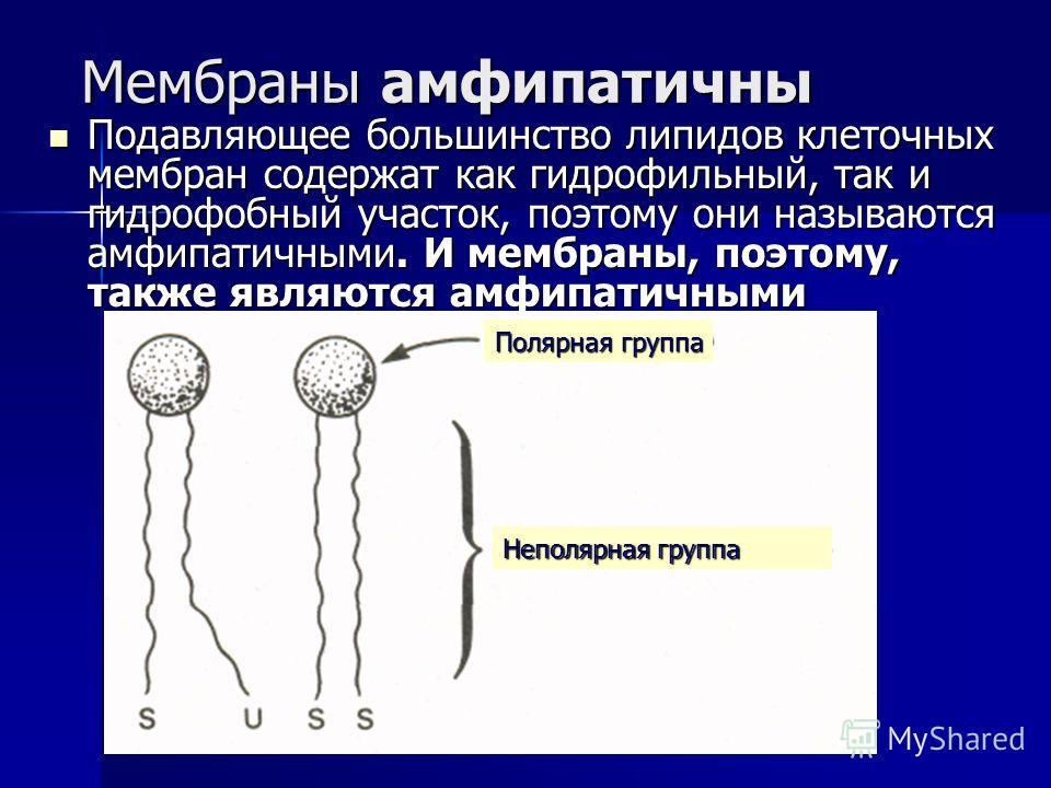 Мембраны амфипатичны Подавляющее большинство липидов клеточных мембран содержат как гидрофильный, так и гидрофобный участок, поэтому они называются амфипатичными. И мембраны, поэтому, также являются амфипатичными Подавляющее большинство липидов клето
