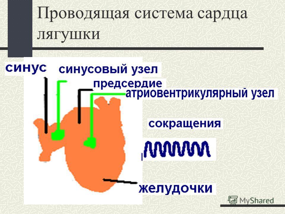 Проводящая система сардца лягушки