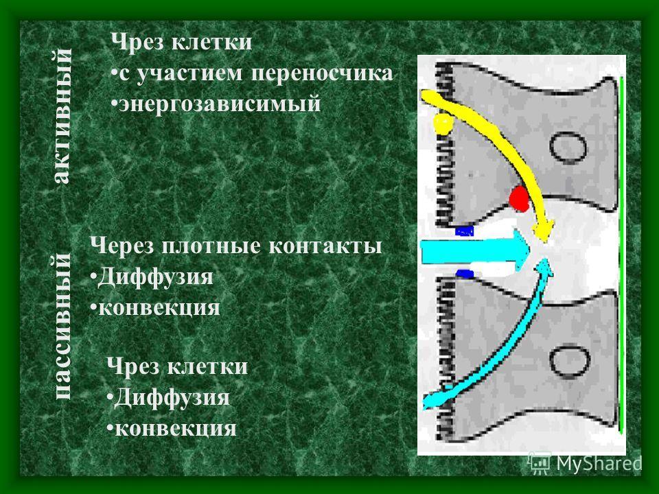 Чрез клетки с участием переносчика энергозависимый активный пассивный Чрез клетки Диффузия конвекция Через плотные контакты Диффузия конвекция