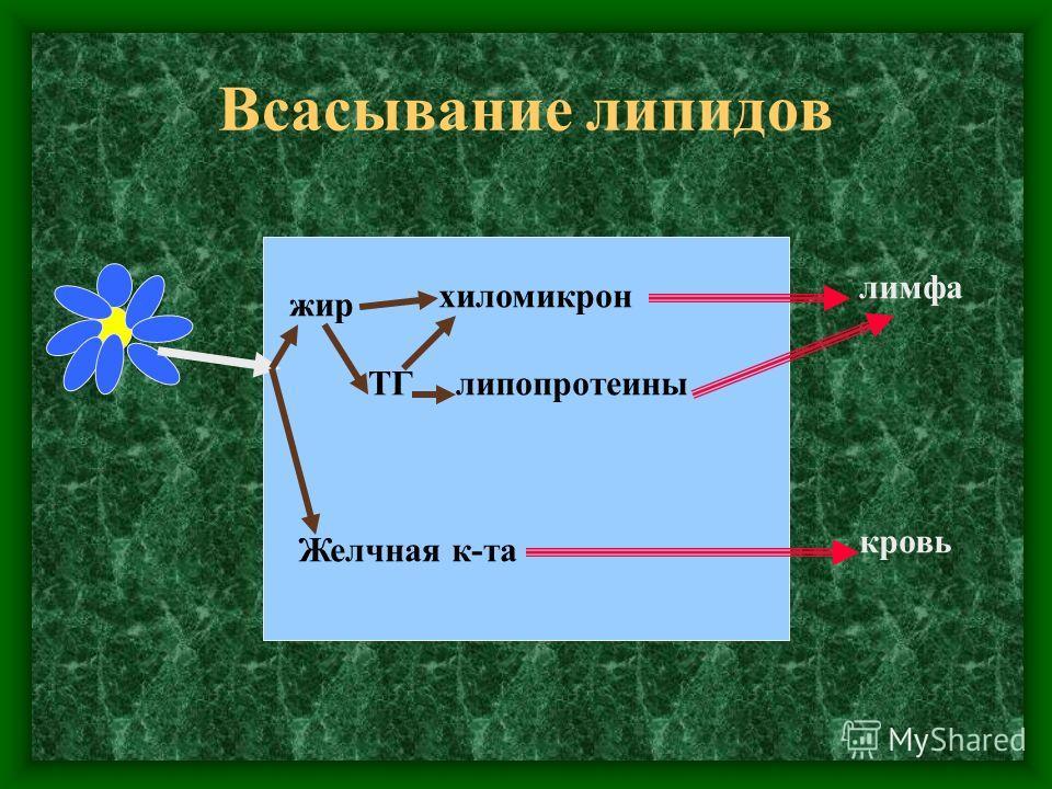 Всасывание липидов жир Желчная к-та кровь хиломикрон ТГлипопротеины лимфа
