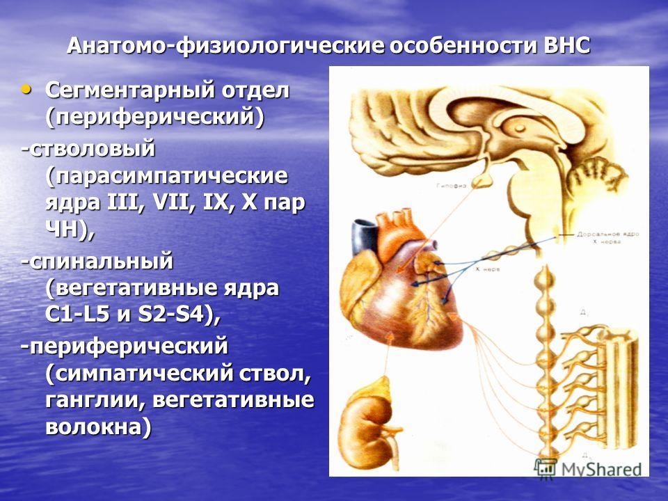 Анатомо-физиологические особенности ВНС Сегментарный отдел (периферический) Сегментарный отдел (периферический) -стволовый (парасимпатические ядра ІІІ, VІІ, ІХ, Х пар ЧН), -спинальный (вегетативные ядра С1-L5 и S2-S4), -периферический (симпатический