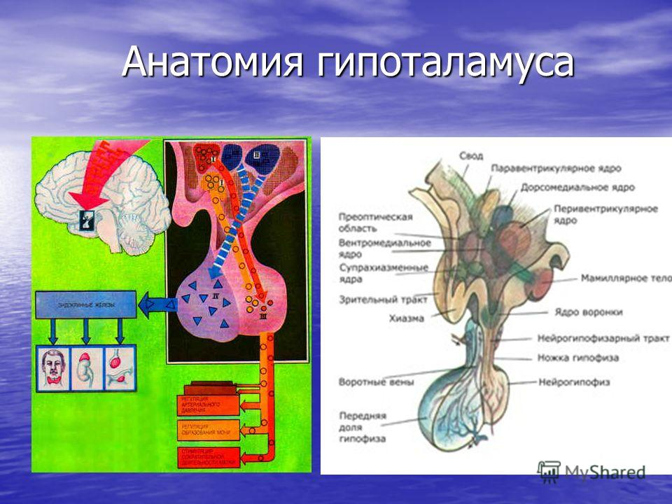 Анатомия гипоталамуса