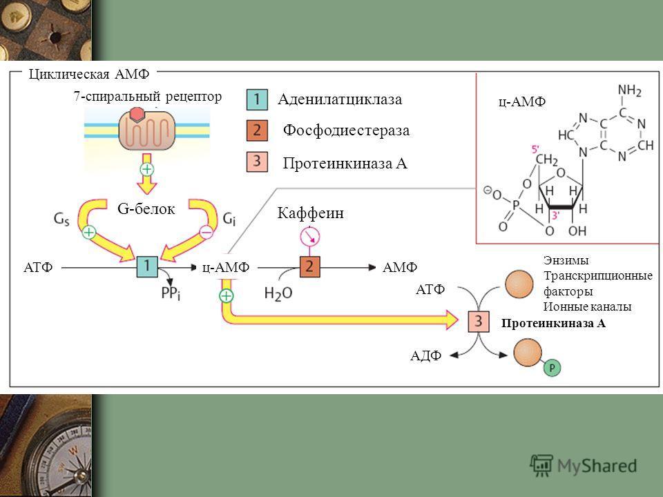 7-спиральный рецептор G-белок Аденилатциклаза Фосфодиестераза Протеинкиназа А Каффеин Энзимы Транскрипционные факторы Ионные каналы Протеинкиназа А ц-АМФ АМФАТФ АДФ Циклическая АМФ