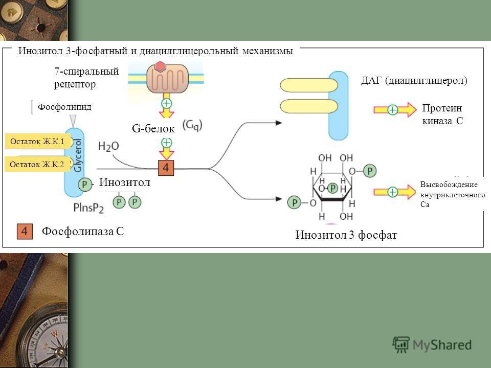 Инозитол 3-фосфатный и диацилглицерольный механизмы 7-спиральный рецептор G-белок Фосфолипид Остаток Ж.К.1 Остаток Ж.К.2 Инозитол Инозитол 3 фосфат ДАГ (диацилглицерол) Протеин киназа С Высвобождение внутриклеточного Са Фосфолипаза С