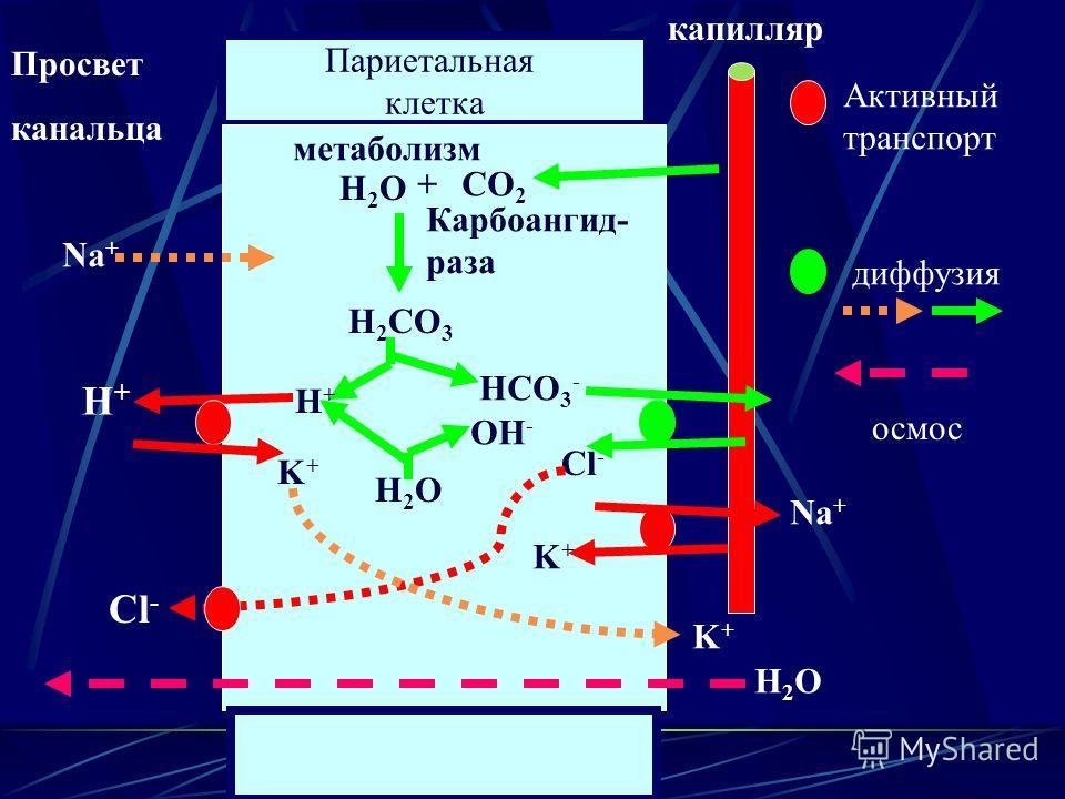 Париетальная клетка Просвет канальца капилляр метаболизм СО 2 + Н2ОН2О Карбоангид- раза Н 2 СО 3 Н+Н+ НСО 3 - Н2ОН2О ОН - Cl - Н+Н+ K+K+ K+K+ Na + K+K+ Н2ОН2О Активный транспорт диффузия осмос