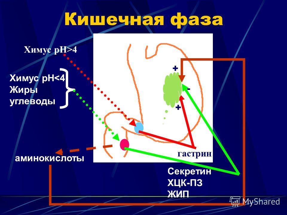 Кишечная фаза Химус рН>4 гастрин + Химус рН