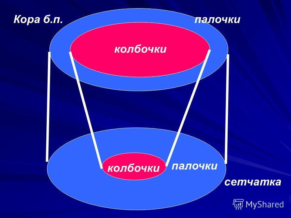 палочки колбочки палочкиКора б.п. сетчатка