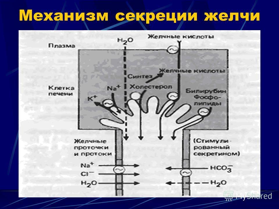Механизм секреции желчи