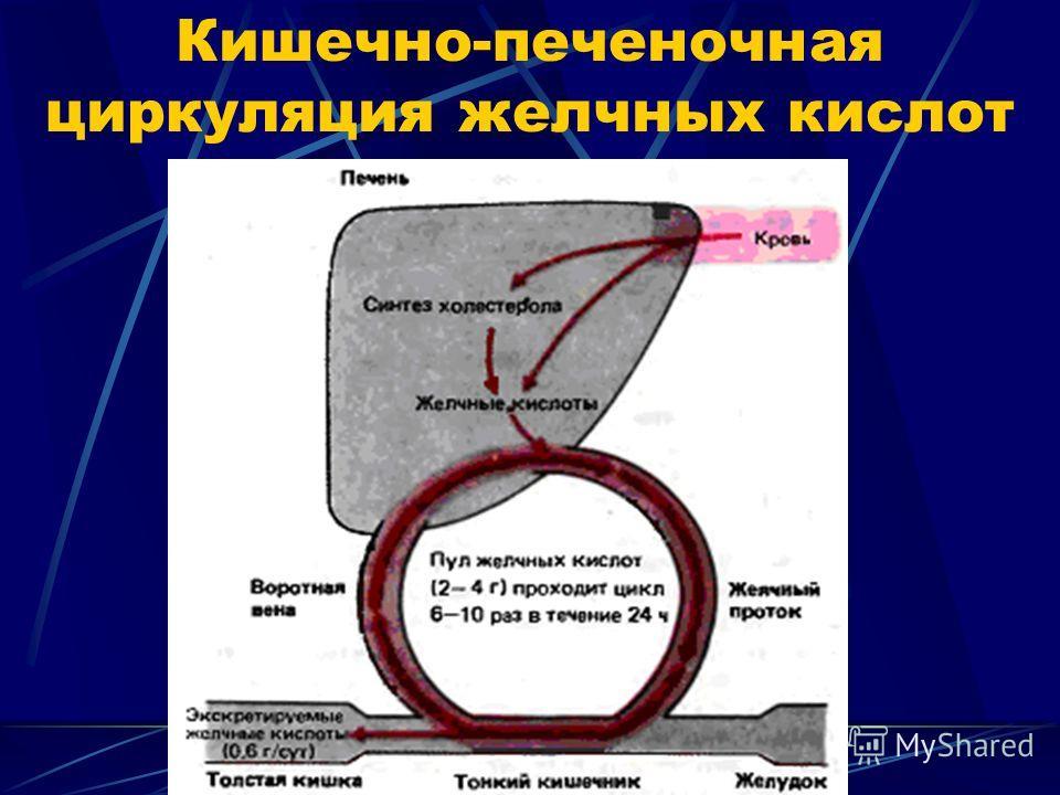 Кишечно-печеночная циркуляция желчных кислот