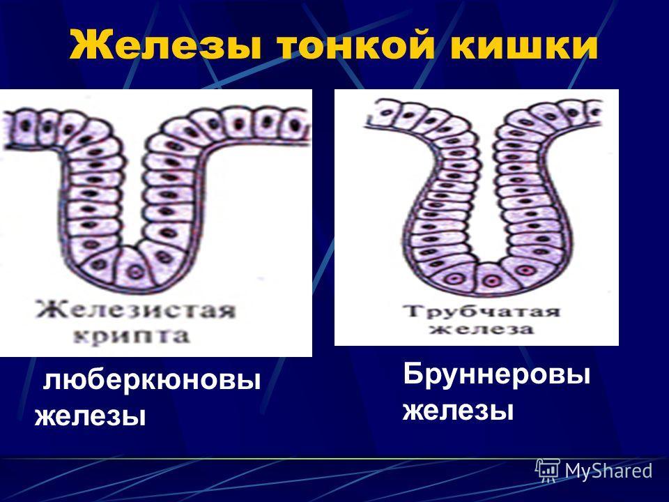 Железы тонкой кишки люберкюновы железы Бруннеровы железы