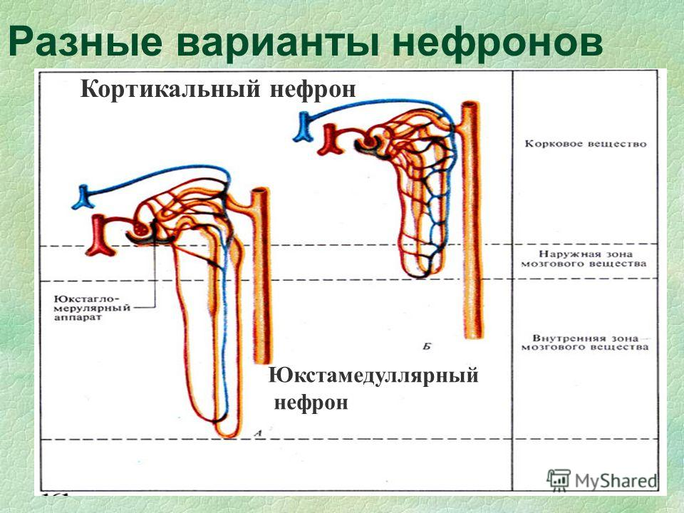 Разные варианты нефронов Кортикальный нефрон Юкстамедуллярный нефрон