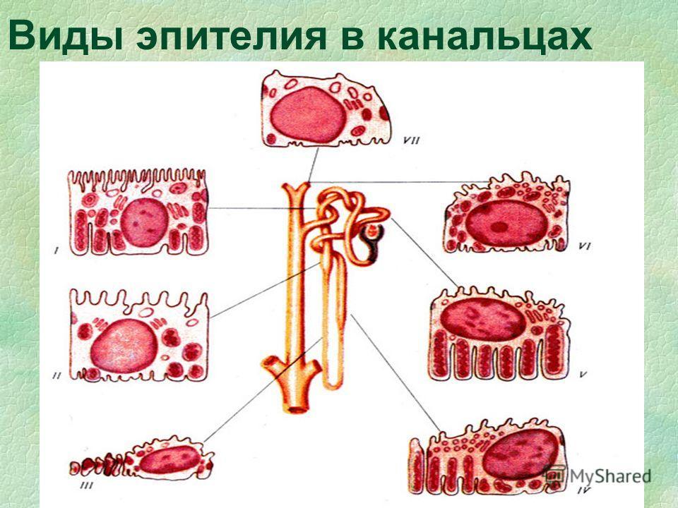 Виды эпителия в канальцах