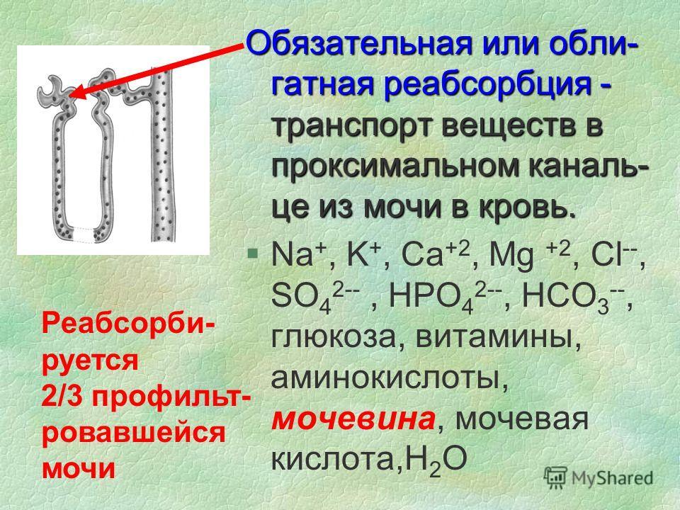 Обязательная или обли- гатная реабсорбция - транспорт веществ в проксимальном каналь- це из мочи в кровь. §Na +, K +, Ca +2, Mg +2, Cl --, SO 4 2--, HPO 4 2--, HCO 3 --, глюкоза, витамины, аминокислоты, мочевина, мочевая кислота,H 2 O Реабсорби- рует