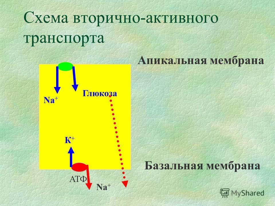 Схема вторично-активного транспорта АТФ К+К+ Na + Глюкоза Апикальная мембрана Базальная мембрана