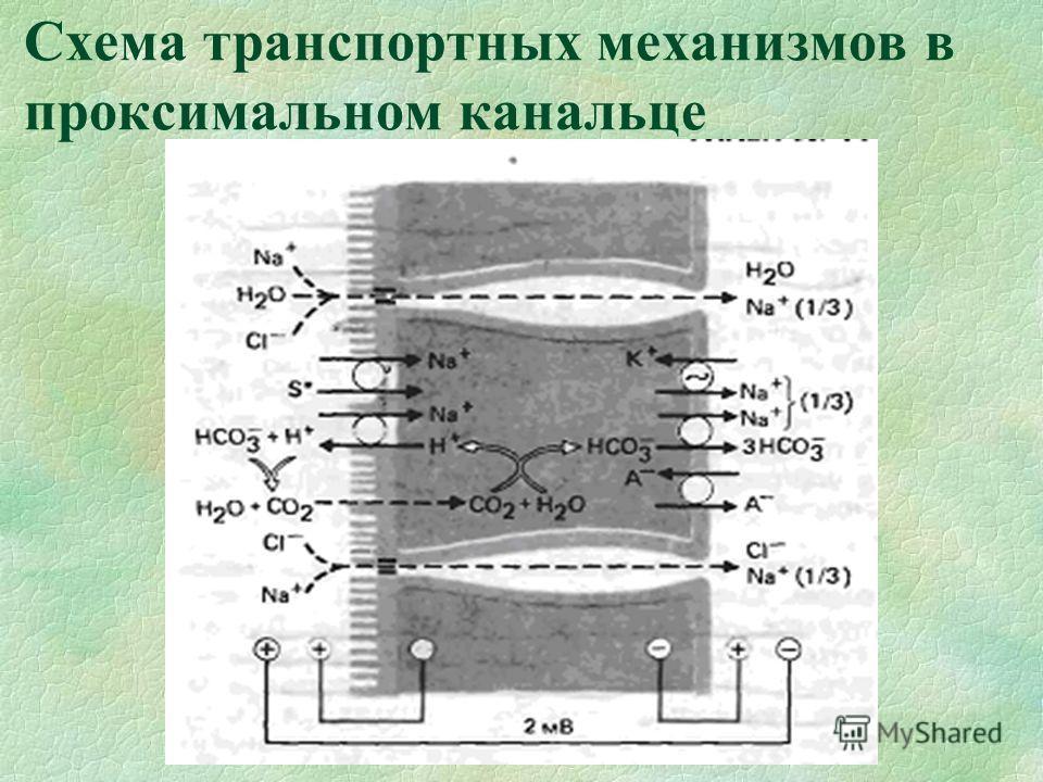 Схема транспортных механизмов в проксимальном канальце