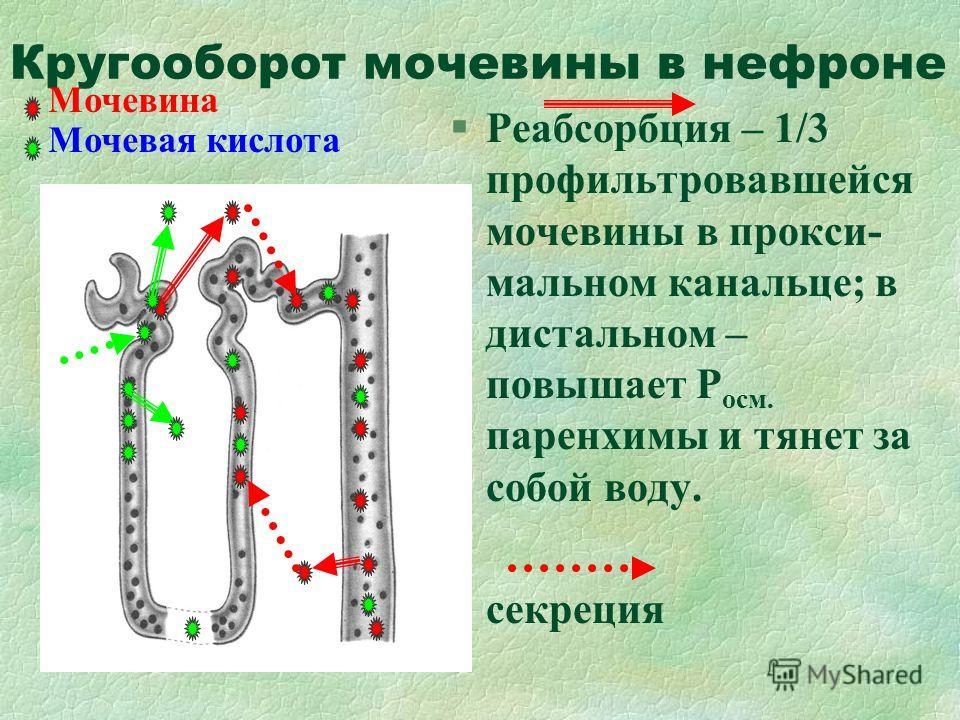 Кругооборот мочевины в нефроне §Реабсорбция – 1/3 профильтровавшейся мочевины в прокси- мальном канальце; в дистальном – повышает Р осм. паренхимы и тянет за собой воду. §секреция Мочевина Мочевая кислота