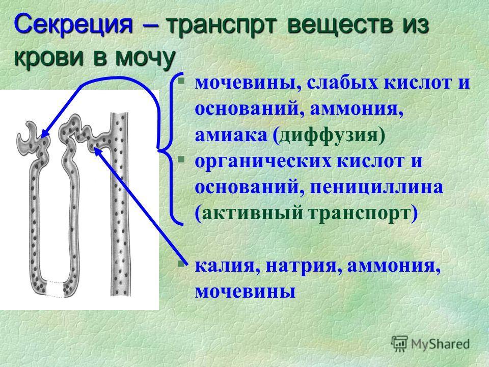 Секреция – транспрт веществ из крови в мочу §мочевины, слабых кислот и оснований, аммония, амиака (диффузия) §органических кислот и оснований, пенициллина (активный транспорт) калия, натрия, аммония, мочевины