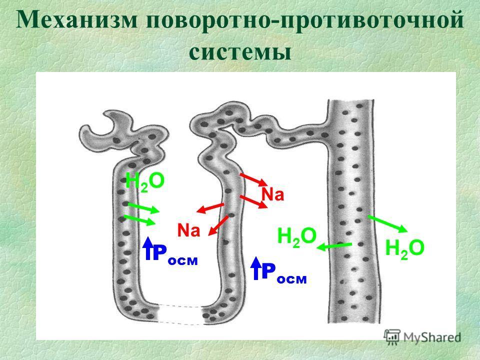 Механизм поворотно-противоточной системы Н2ОН2О Н2ОН2О Н2ОН2О Na Р осм