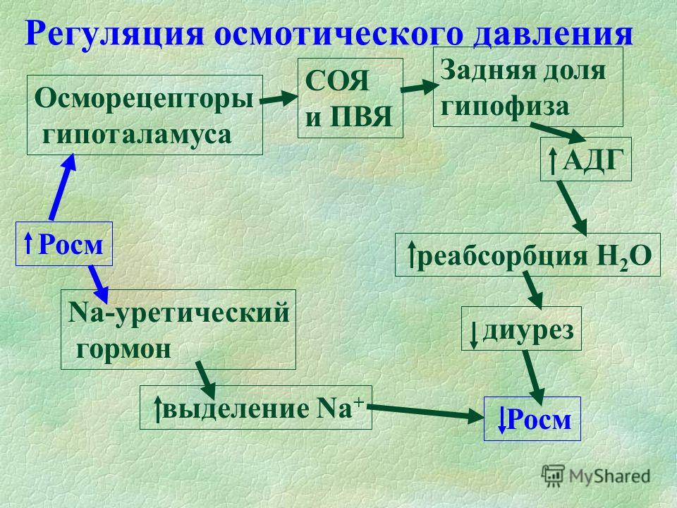Регуляция осмотического давления Росм Осморецепторы гипоталамуса СОЯ и ПВЯ Задняя доля гипофиза АДГ реабсорбция Н 2 О диурез Росм Na-уретический гормон выделение Na +