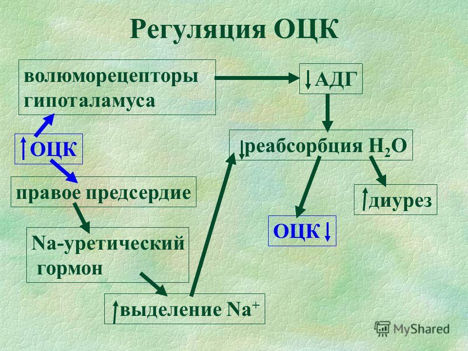 Регуляция ОЦК ОЦК волюморецепторы гипоталамуса АДГ реабсорбция Н 2 О диурез правое предсердие Na-уретический гормон выделение Na + ОЦК