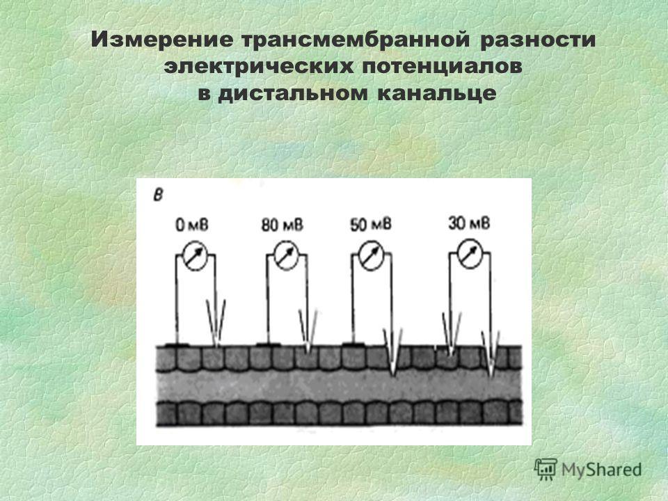 Измерение трансмембранной разности электрических потенциалов в дистальном канальце