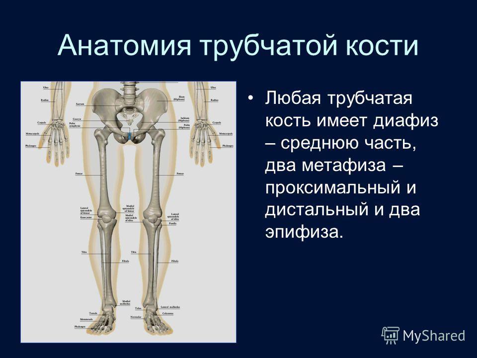 Анатомия трубчатой кости Любая трубчатая кость имеет диафиз – среднюю часть, два метафиза – проксимальный и дистальный и два эпифиза.