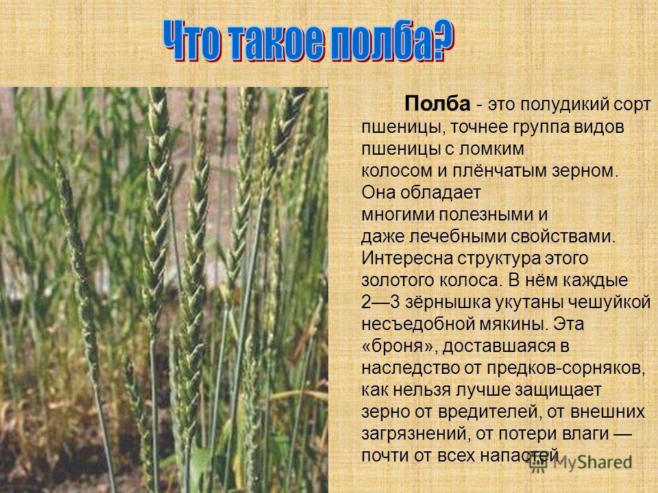 Полба - это полудикий сорт пшеницы, точнее группа видов пшеницы с ломким колосом и плёнчатым зерном. Она обладает многими полезными и даже лечебными свойствами. Интересна структура этого золотого колоса. В нём каждые 23 зёрнышка укутаны чешуйкой несъ