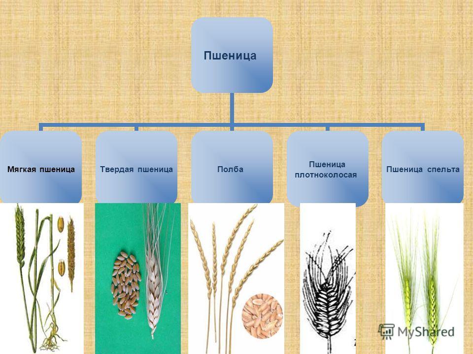 Пшеница Мягкая пшеница Твердая пшеница Полба Пшеница плотноколосая Пшеница спельта
