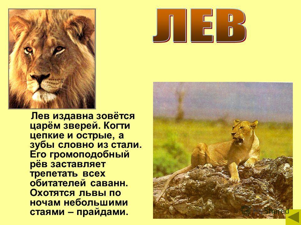 Лев издавна зовётся царём зверей. Когти цепкие и острые, а зубы словно из стали. Его громоподобный рёв заставляет трепетать всех обитателей саванн. Охотятся львы по ночам небольшими стаями – прайдами.