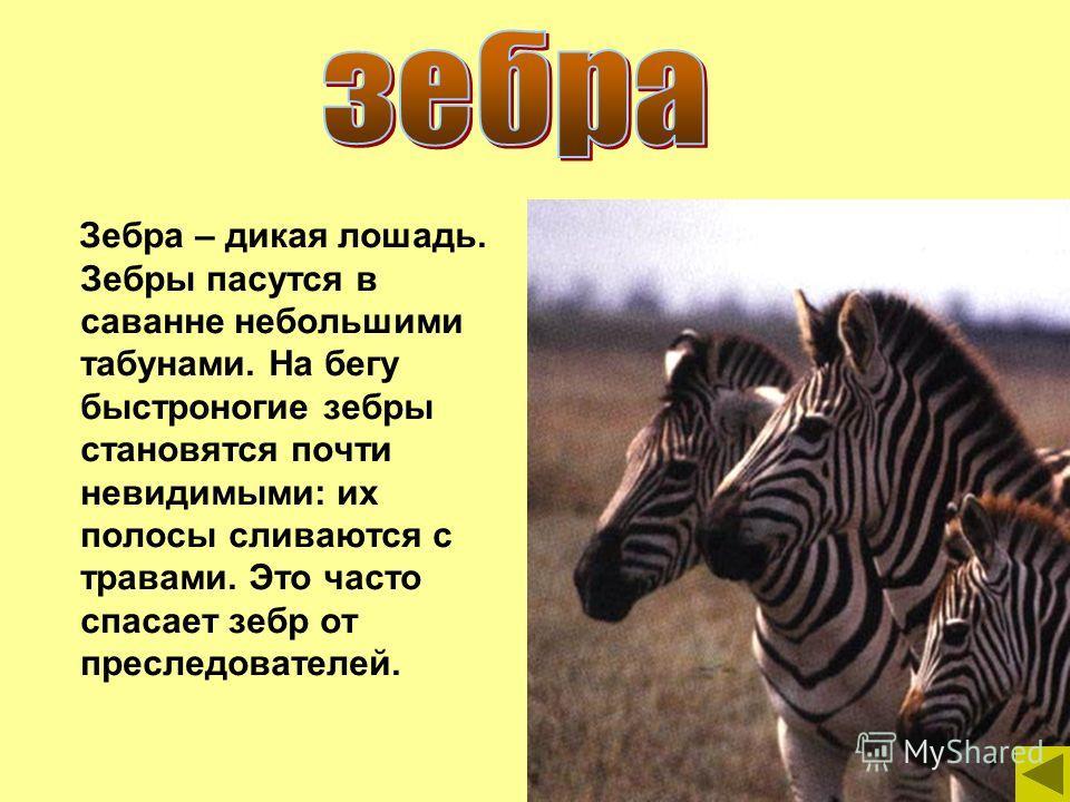 Зебра – дикая лошадь. Зебры пасутся в саванне небольшими табунами. На бегу быстроногие зебры становятся почти невидимыми: их полосы сливаются с травами. Это часто спасает зебр от преследователей.