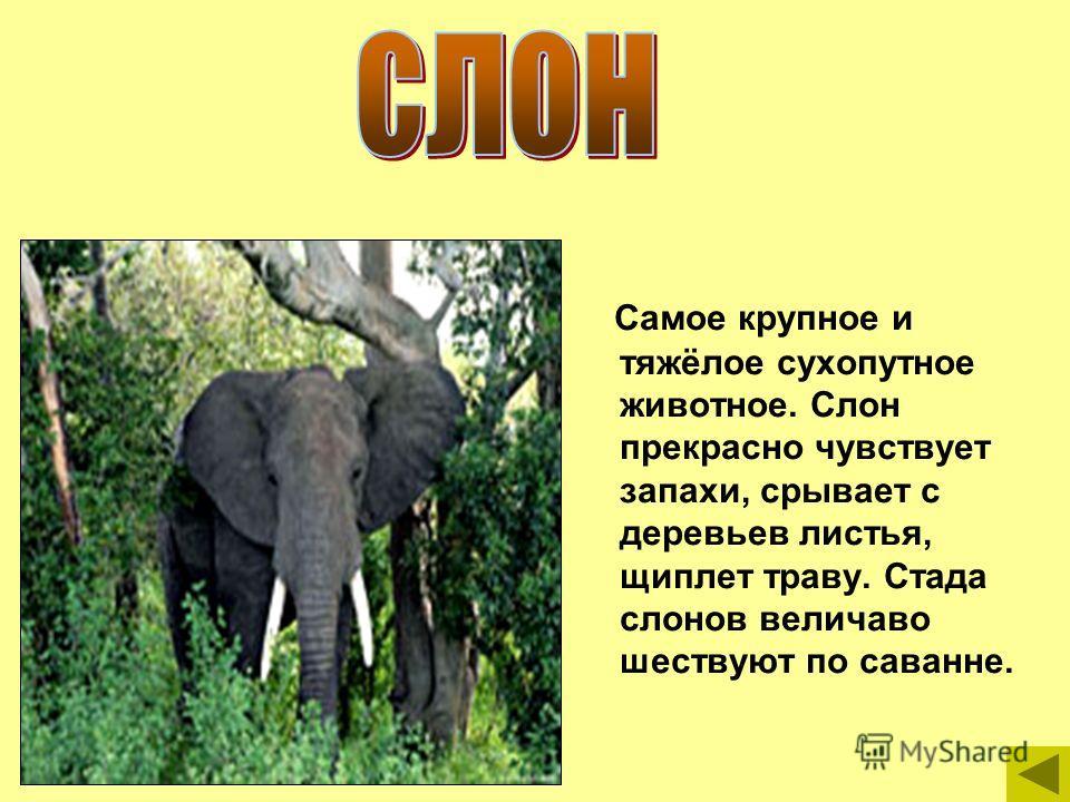 Самое крупное и тяжёлое сухопутное животное. Слон прекрасно чувствует запахи, срывает с деревьев листья, щиплет траву. Стада слонов величаво шествуют по саванне.
