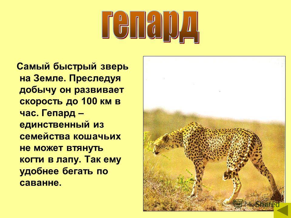 Самый быстрый зверь на Земле. Преследуя добычу он развивает скорость до 100 км в час. Гепард – единственный из семейства кошачьих не может втянуть когти в лапу. Так ему удобнее бегать по саванне.