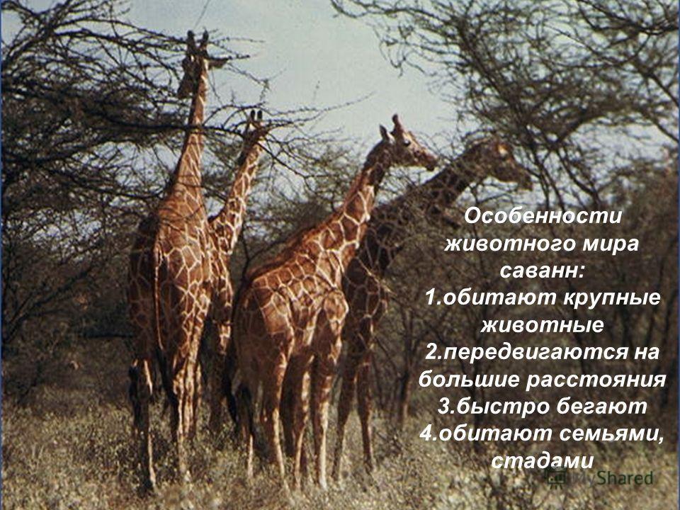 Особенности животного мира саванн: 1. обитают крупные животные 2. передвигаются на большие расстояния 3. быстро бегают 4. обитают семьями, стадами